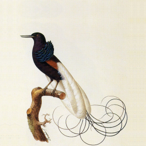 Unidentified_bird_of_paradise-2